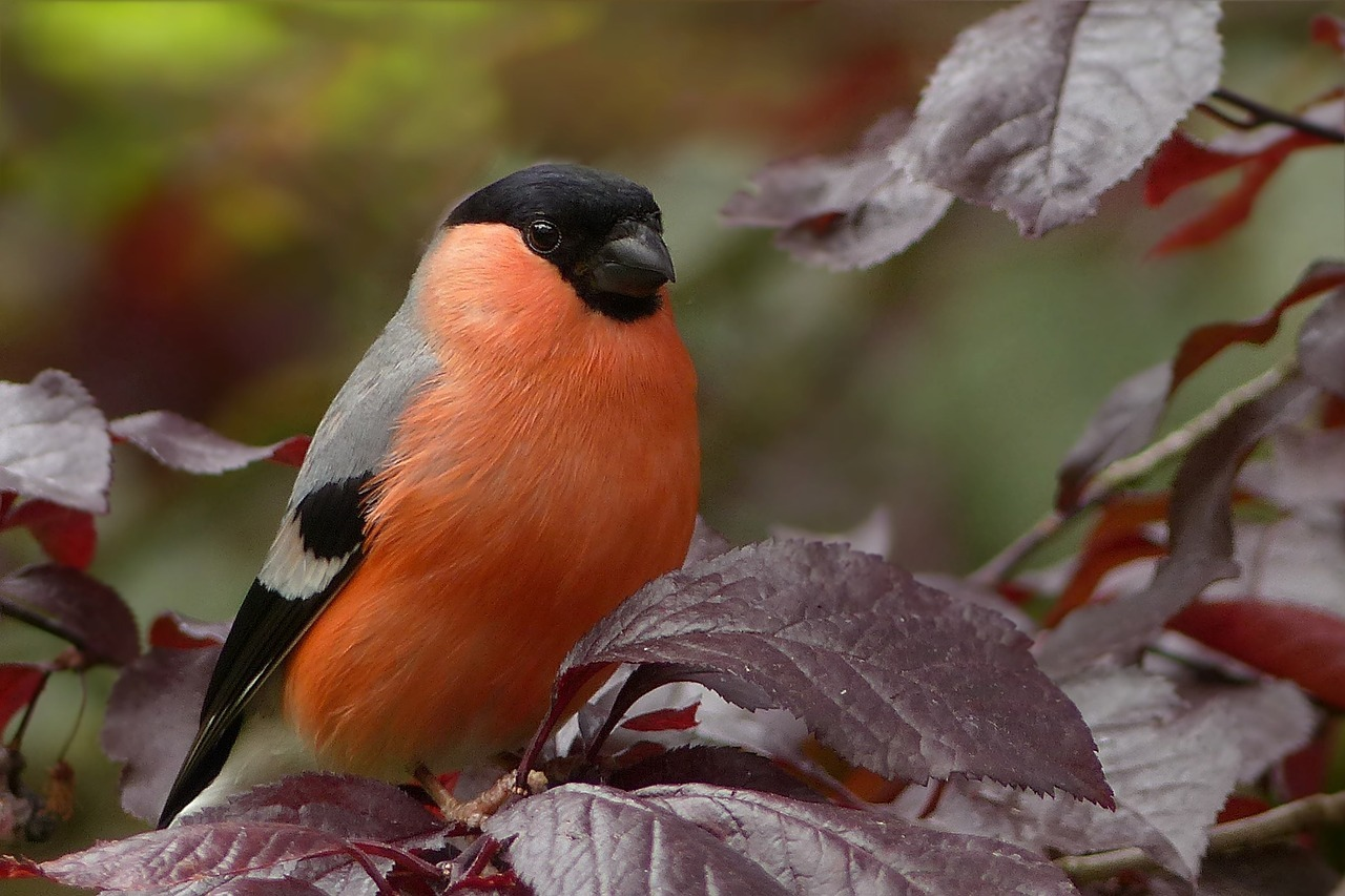 Eurasian bullfinch, male.