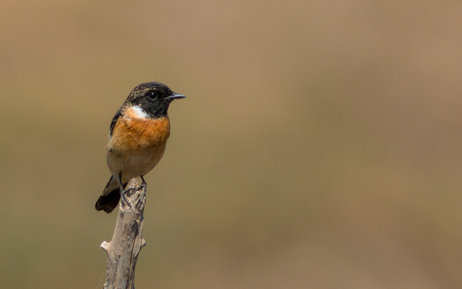European stonechat, male.