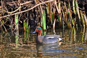 Male common teal