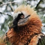 Adult Bearded vulture