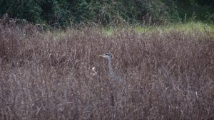 Grey heron playing hide and seek