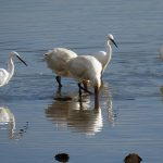 Spoonbill at Villaviciosa
