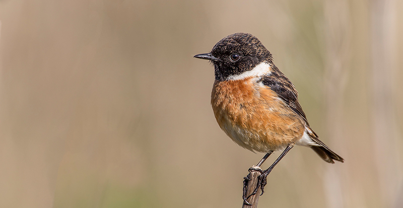 Birdwatch Asturias - Tarabilla europea
