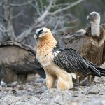 Adult bearded vulture among griffon vultures