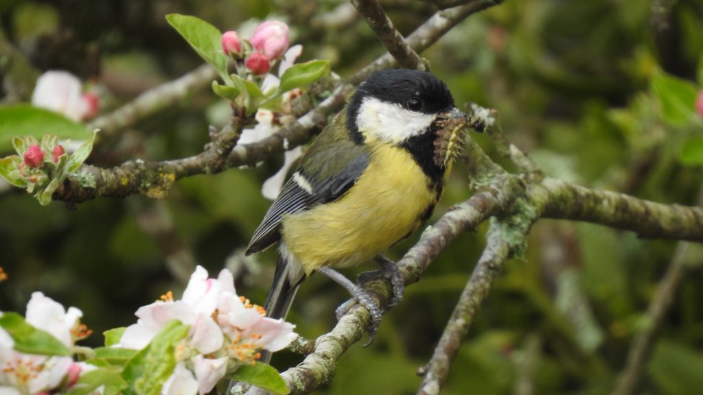 Great tit with the meal