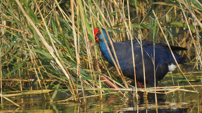 Curiosidades sobre las aves. Andar sobre el agua