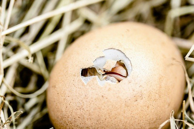 Chick breaking the eggshell