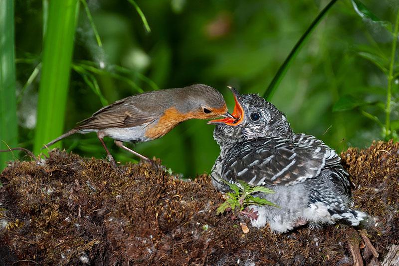 Cuckoo fed by European Robin