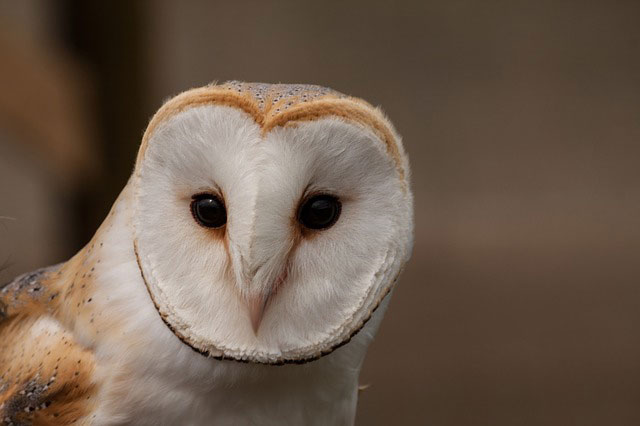 Detail of a barn-owl's face