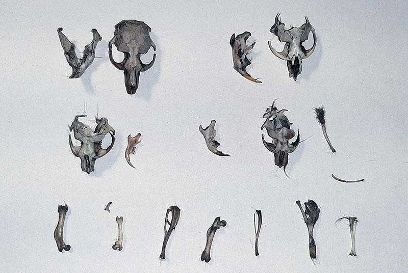 Huesos encontrados en egagropilas