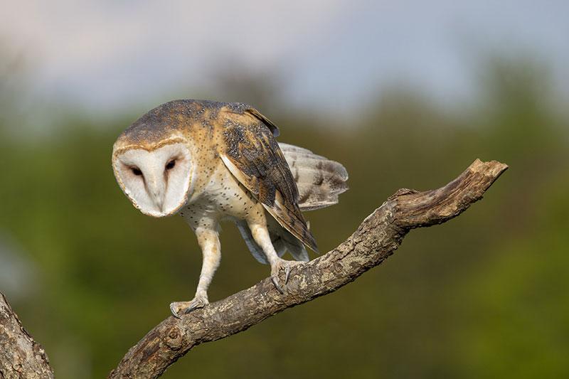 Curiosidades sobre las aves. Os escucho con la cara