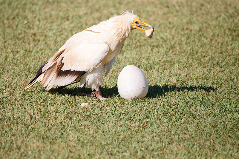 Egyptian vulture cracking a fake ostrich egg